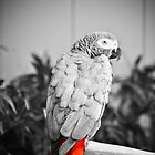 African Grey  by Jeanie93