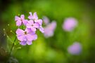 Wild Phlox by Aaron Campbell