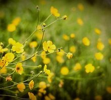 Buttercups by Aaron Campbell