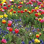 A riot of colour - spring flowers in bloom  by 3Cavaliers