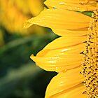 Sunflower by Warren Brown