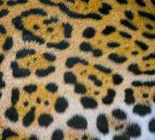Jaguar Print by Craig Baron