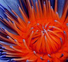 Pandoras Lily. by BaliBuddha