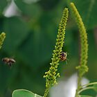 Honeybees working Chinese Popcorn Tree by Ben Waggoner