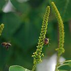 Honeybees working Chinese Popcorn Tree by Ben Waggoner
