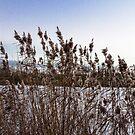 Reeds by Mathieu Longvert