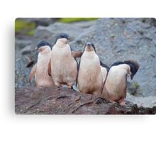 Pink Pingos (Adelie Penguin Chicks, South Orkneys) Canvas Print
