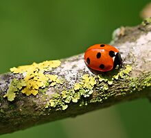 Ladybird Liking Lichen by alienfunk