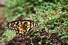Common Lime Butterfly - Papilio demoleus by Lepidoptera