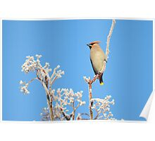 Waxwing and hoar frost Poster