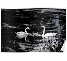 Trumpeter Swan Painting Poster