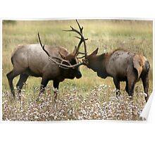 Elk Rut Poster