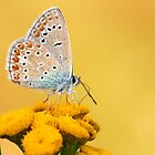Beautiful butterfly by Amaviael