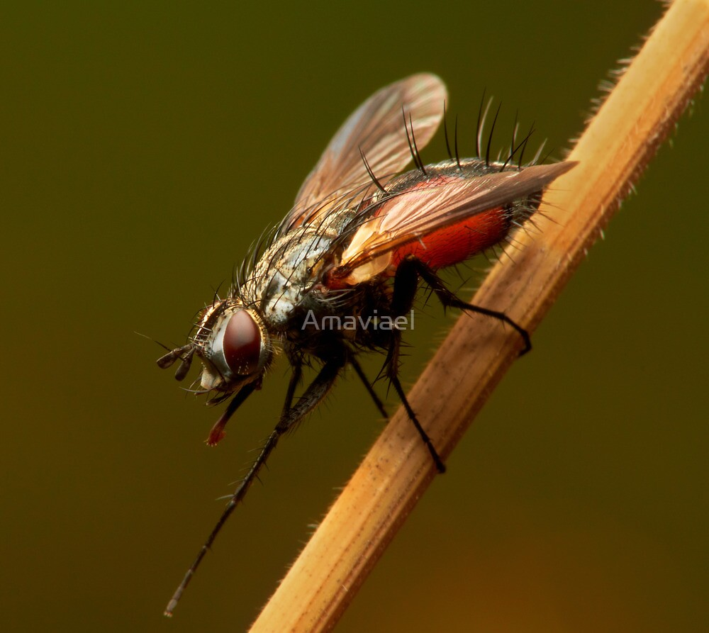 Beautiful fly on the grass by Amaviael