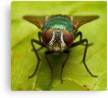 Beautiful fly on the grass over green background Canvas Print