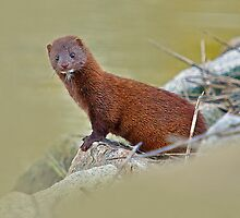 My Little American Mink Friend by imagetj