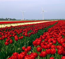 Tulips by scubacro