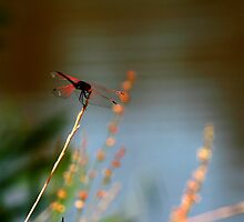 Dragonfly by WesKingston