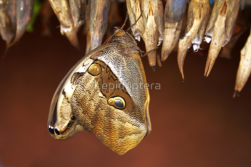 Eclosed From Pupa - Eryphanis polyxena by Lepidoptera