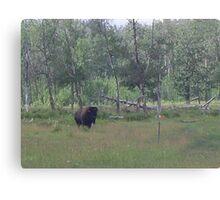 Bison, Elk Lake, Alberta, Canada Canvas Print