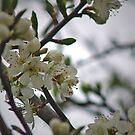 Prunus Domestica by WatscapePhoto