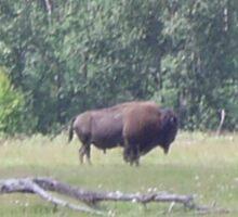Bison 2, Elk Lake, Alberta, Canada Sticker