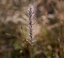 Grass Awn, Armidale Creek bank by Odille Esmonde-Morgan