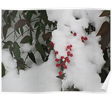 Snow Covered Nandina Bush - 4 Poster