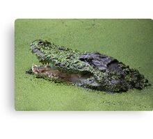 Gator in the Swamp Canvas Print