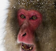 Japanese Macaque by Simon Fallon