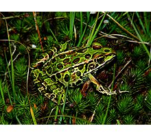 Northern Leopard Frog Among Mossy Ground Photographic Print