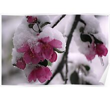Snow Covered Apple Blossoms Poster