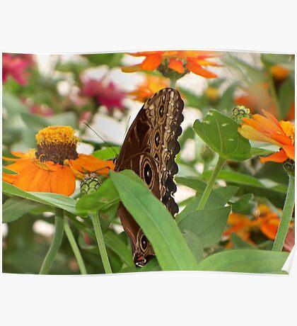 Butterfly on Orange Flowers Poster