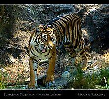 Sumatran Tiger - - Posters & More by Maria A. Barnowl