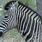 Zebra up close in profile by jozi1