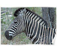 Zebra up close in profile Poster