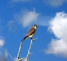 AMERICAN KESTREL by TomBaumker
