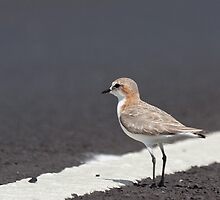 Female Red-Capped Plover by Will Hore-Lacy