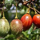 Fruit of Tomato Tree by ambermay