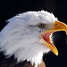American Bald Eagle by Alain Turgeon