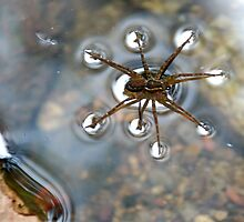 Water Spider by Loachlover