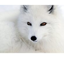 Arctic Fox Photographic Print