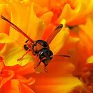 Orange wasp by bobby1