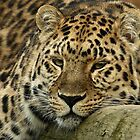 Big Cat Portraits by Mark Hughes