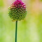 nice allium flower by Manon Boily