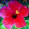 Hibiscus happiness by ♥⊱ B. Randi Bailey