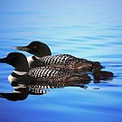 Family of Loons by Diane Blastorah