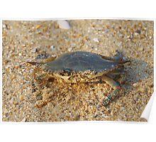 Softshell Crab - Atlantic Ocean Poster