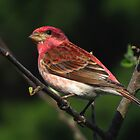 Raspberry Red Beauty (Purple Finch) by Robert Miesner