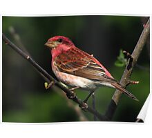 Raspberry Red Beauty (Purple Finch) Poster